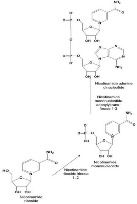 Figure 2-Salvage pathway